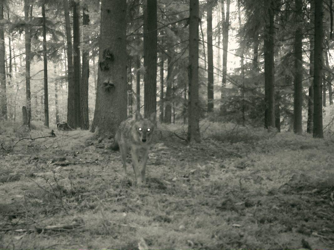 Aufnahme einer Fotofalle im Landkreis Ansbach - Foto: Landesamt für Umwelt.