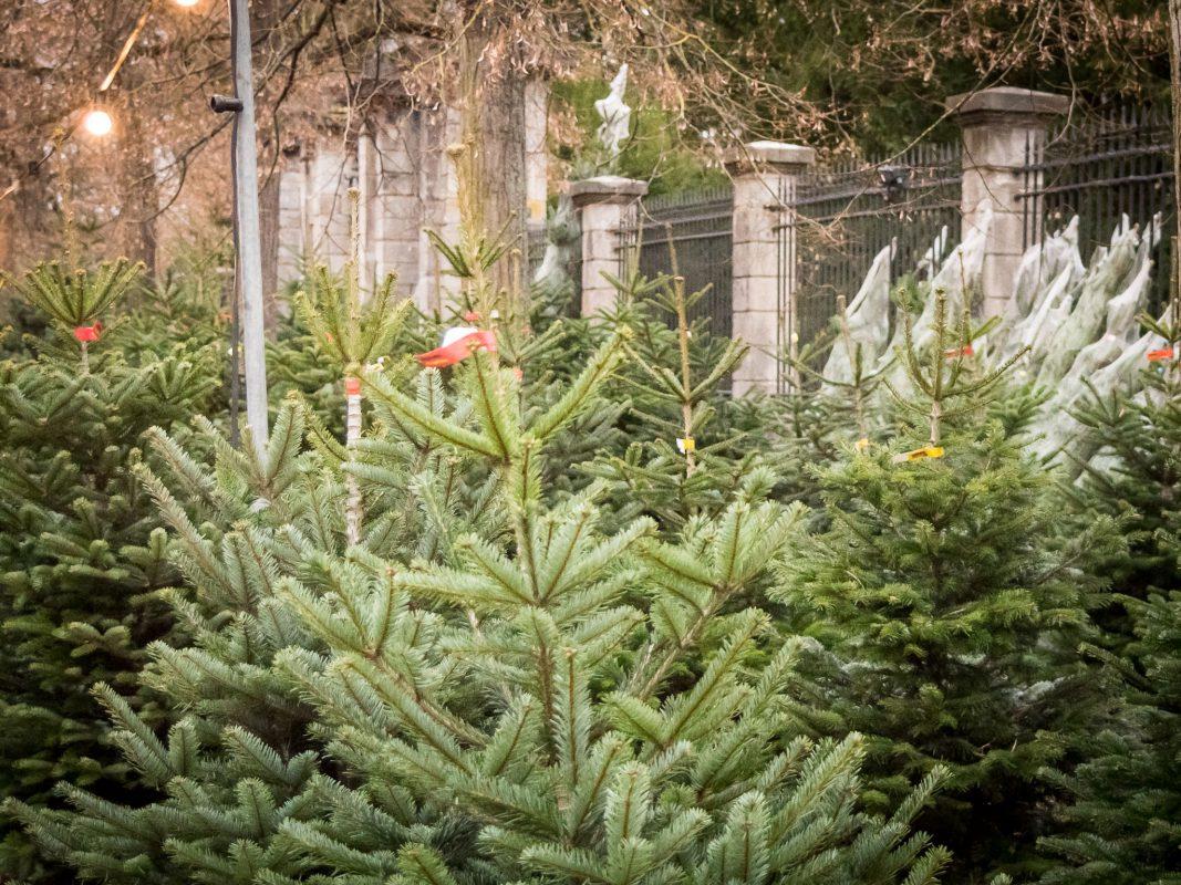 Weihnachtsbäume. Foto: Pascal Höfig