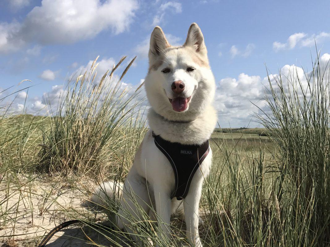 Husky Maya auf ihrer großen Reise. Foto: Franziska Schmidt