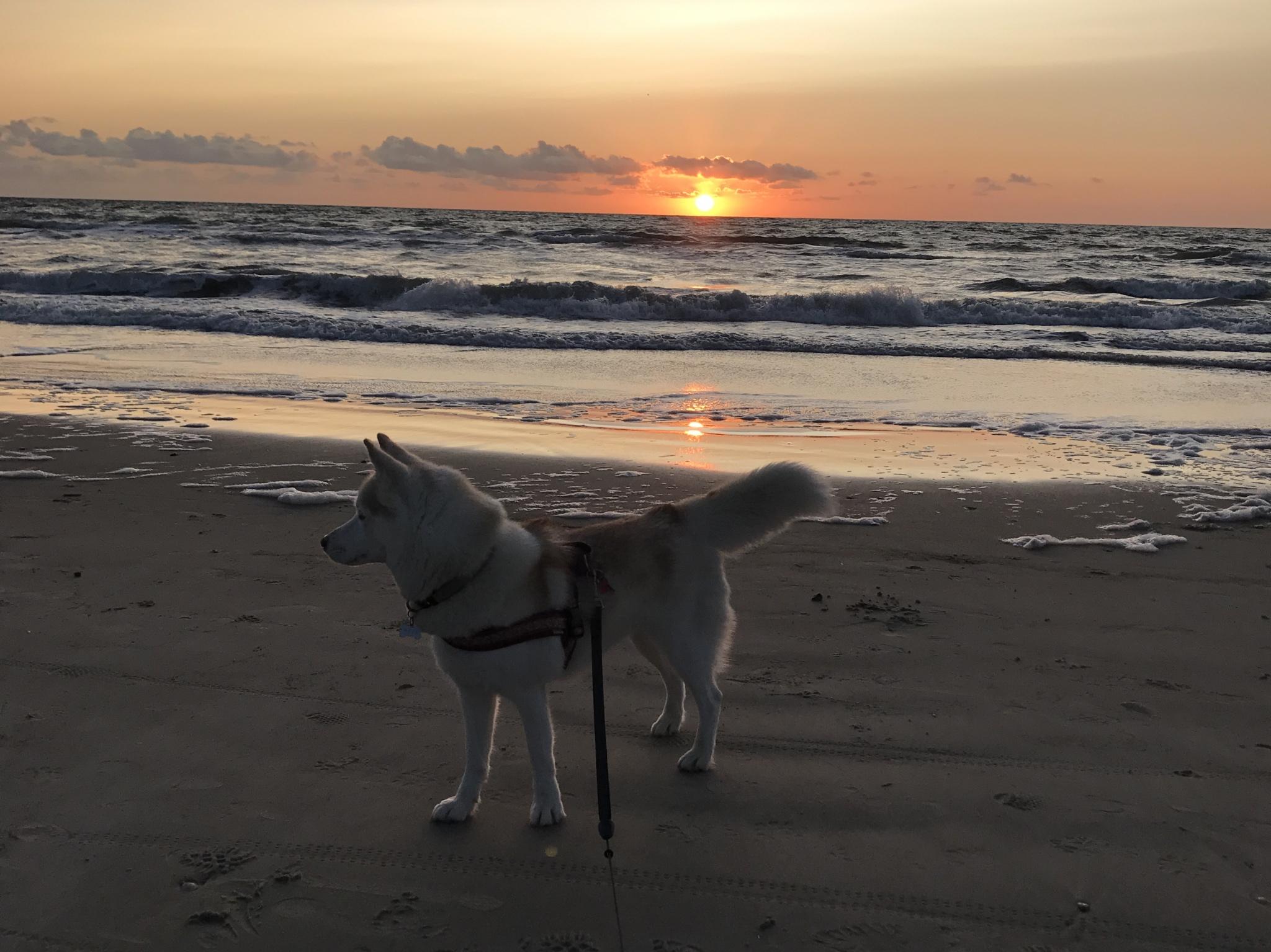 Husky Maya am Strand. Foto: Franziska Schmidt