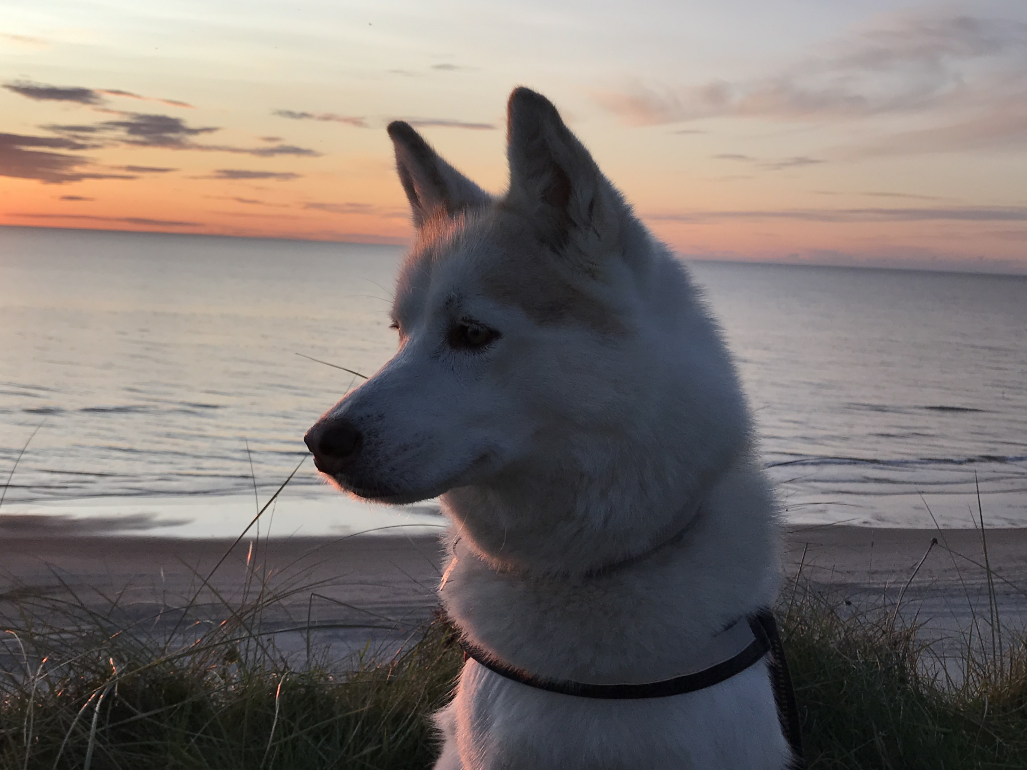Husky Maya genießt den Sonnenuntergang. Foto: Franziska Schmidt