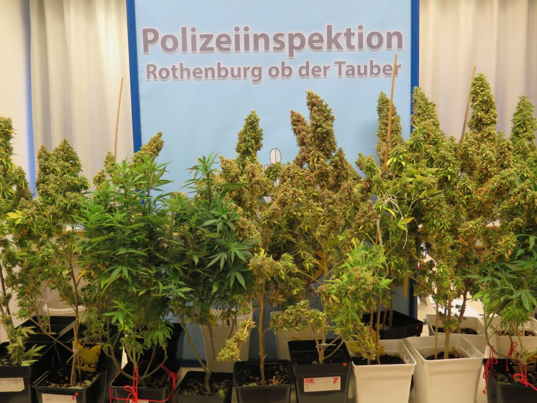 Die sichergestellten Cannabispflanzen. Foto: Polizeiinspektion Rothenburg