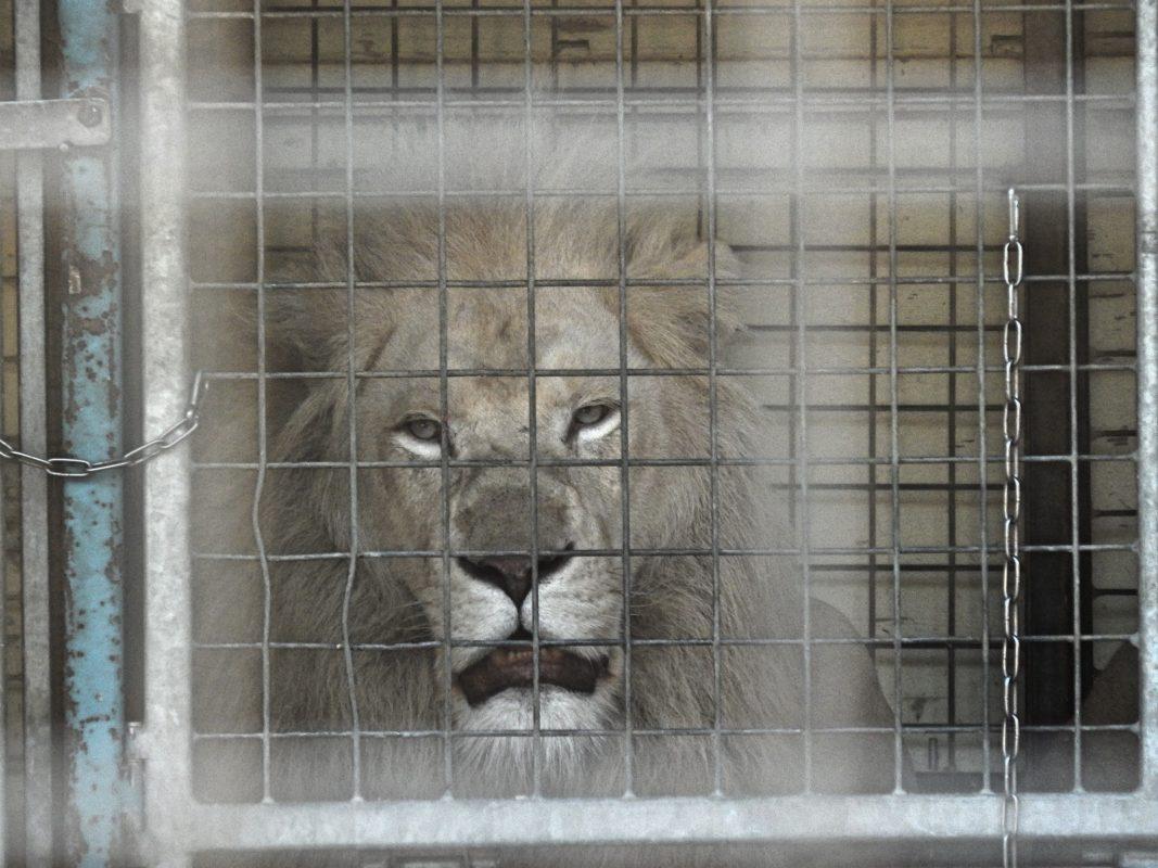 Löwe im Circus Krone. Foto: Aktionsgruppe Tierrechte Bayern.