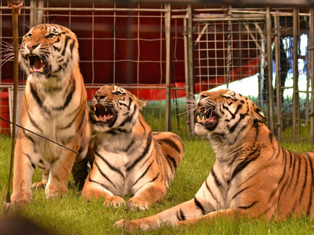 Tigerdressur im Circus Manuel Weisheit. Foto: Dirk Candidus