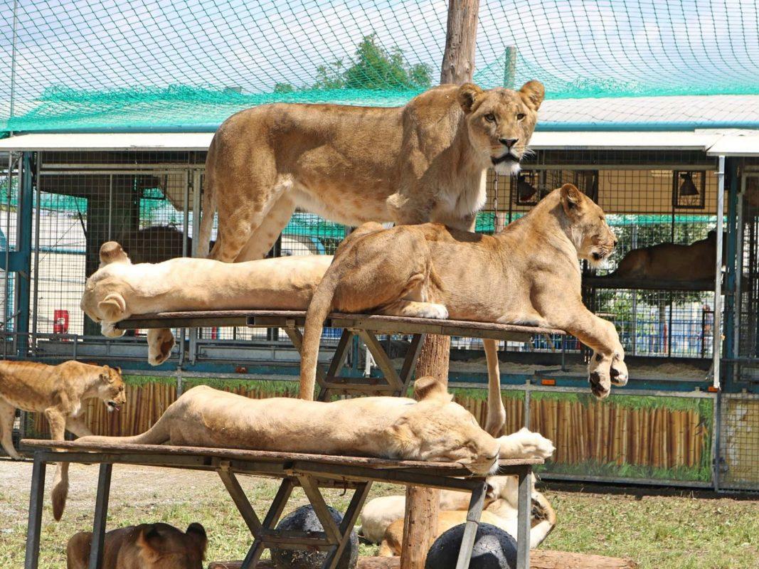 Löwen des Circus Krone im Freigehege. Foto: Astrid Reuber