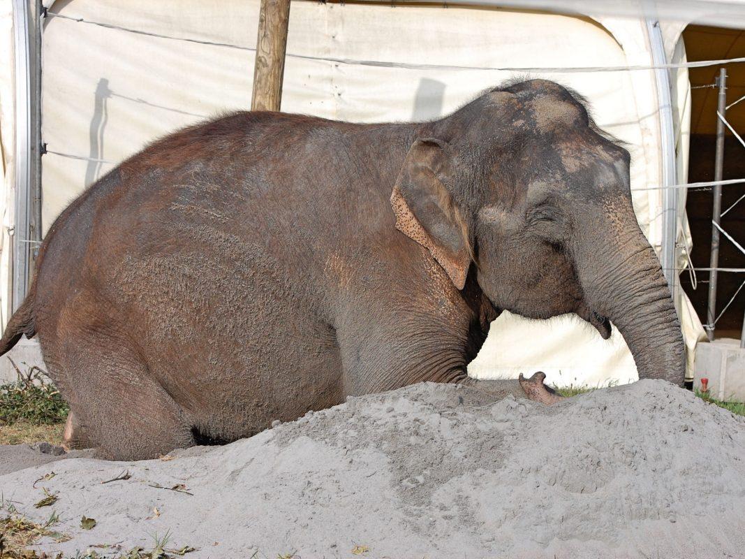 Elefant des Circus Krone im Sandbad. Foto: Dirk Candidus