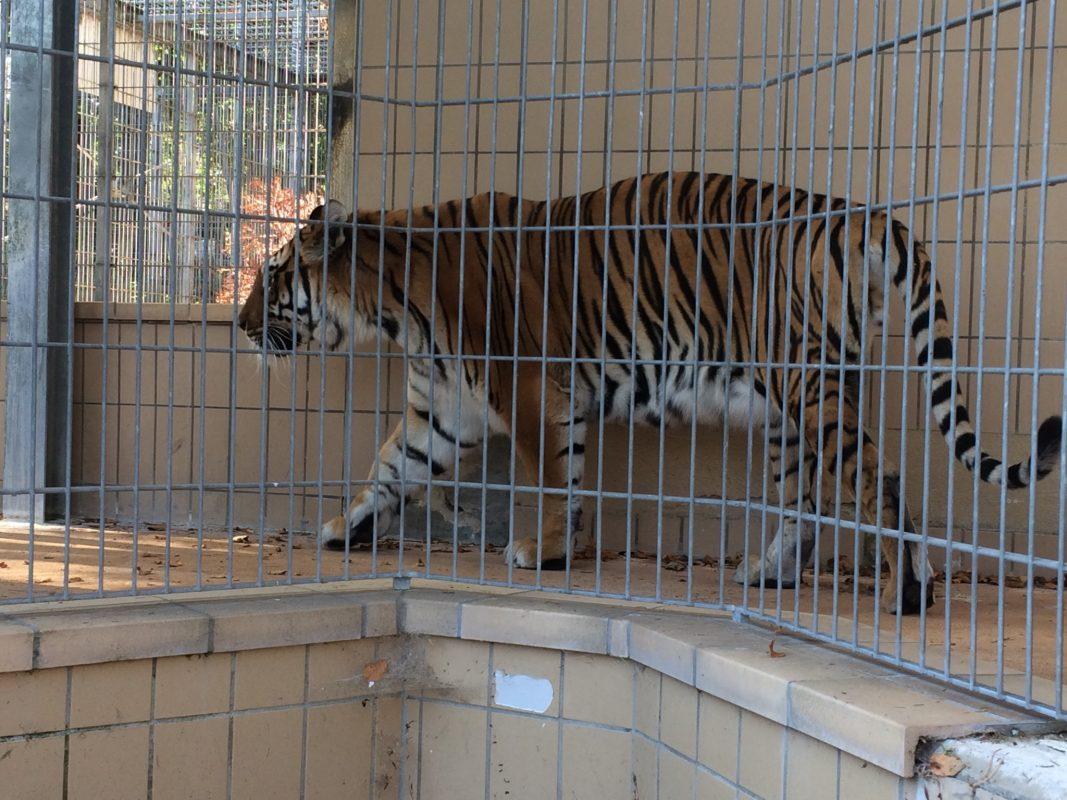 Ein Tiger im Raubtier- und Exotenasyl. Foto: Dr. Peter Bauer/Freie Wähler