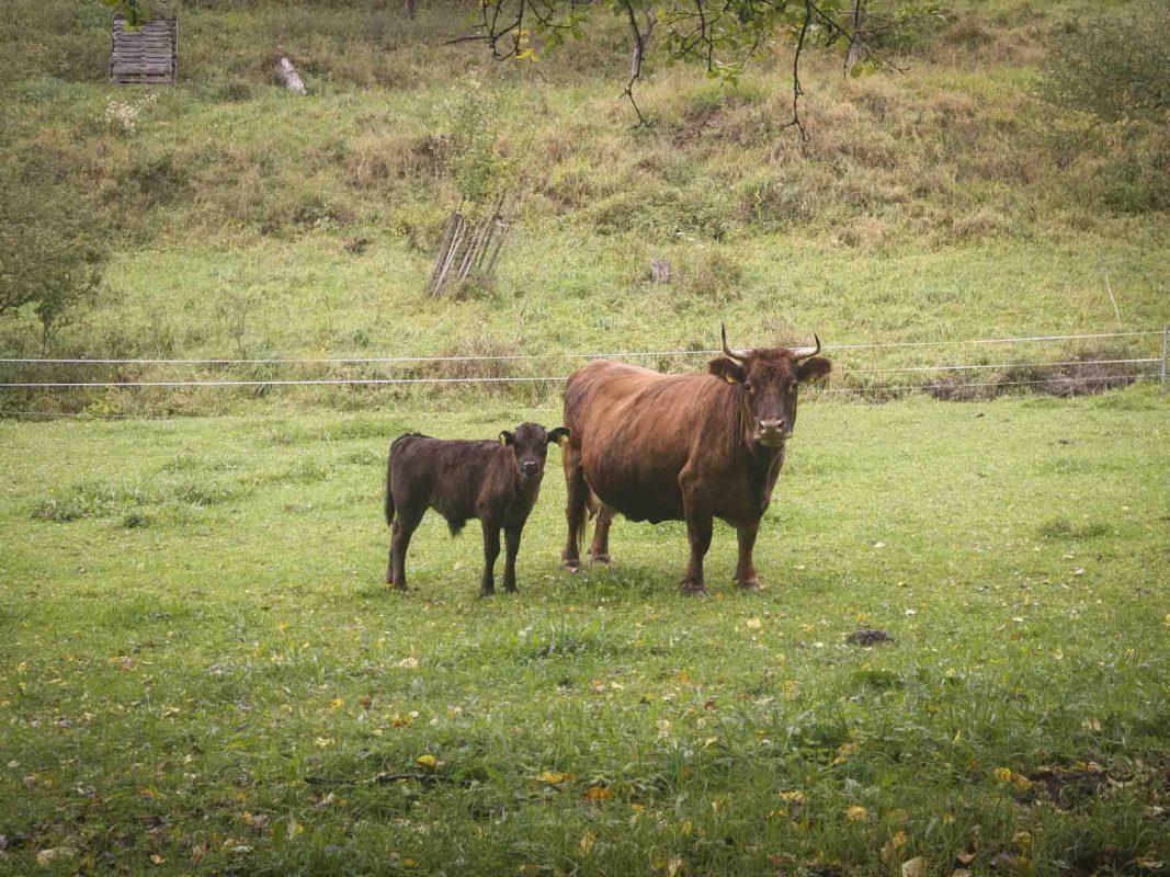Symbolbild Kuh. Foto: Dominik Ziegler