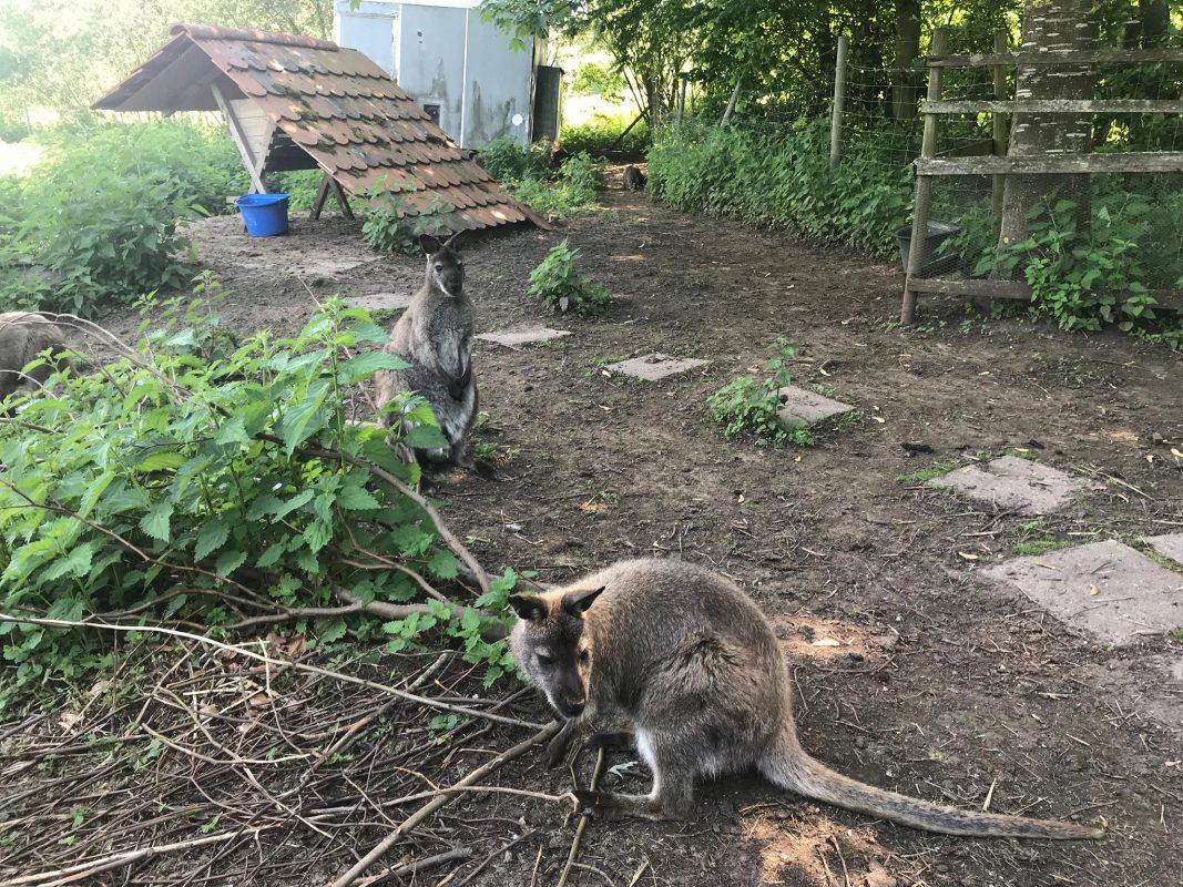 Bei den eher menschenscheuen Kängurus handelt es sich um Wallabis. Symbolfoto: Polizei