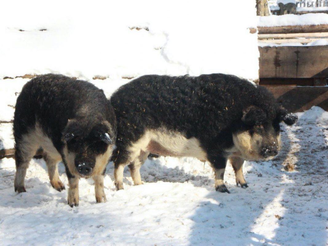 Auch Wollschweine fühlen sich im Schnee sichtlich wohl! Foto: Ute Rauschenbach