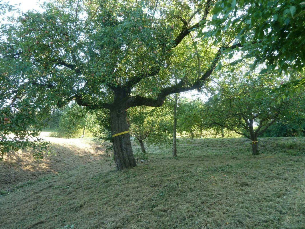 Auch in der Nähe von Grüb bei Weihenzell stehen Obstbäume mit einem gelben Band. Hier darf abgeerntet werden. Foto: Landratsamt Ansbach/Volkmar Then