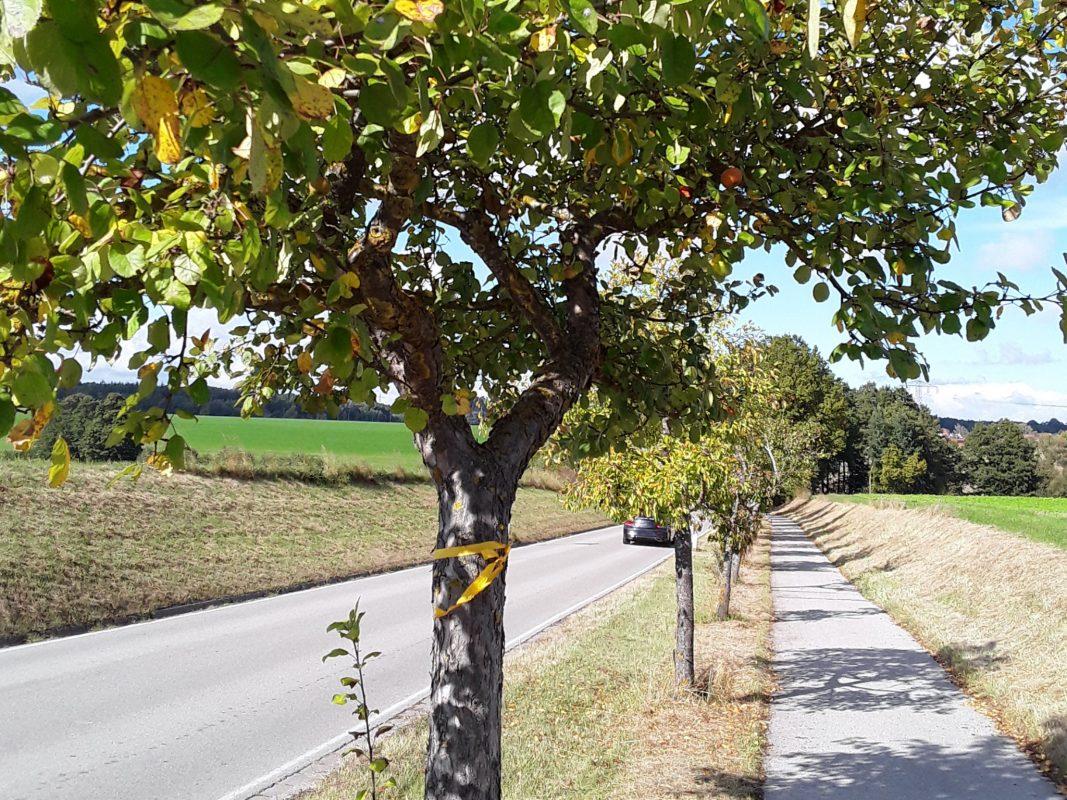 Obstbäume mit gelbem Band dürfen abgeerntet werden. Foto: Stadt Ansbach, Gerhard Hafenrichter